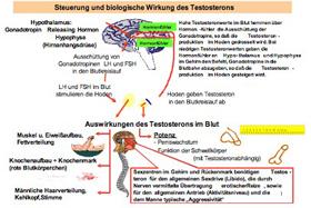 Testosteron Zu Niedrig Mann Symptome